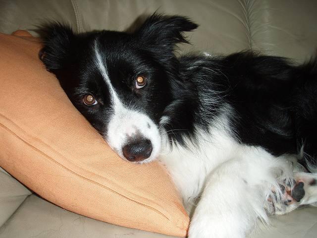 Resultado de imagen de border collie 犬 ベッドに横たわっている